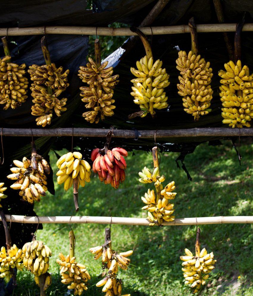 Nós temos bananas!