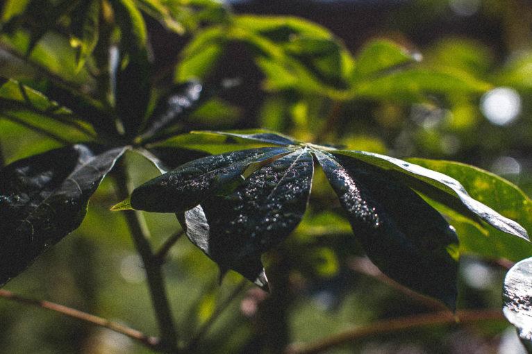 folha mandioca