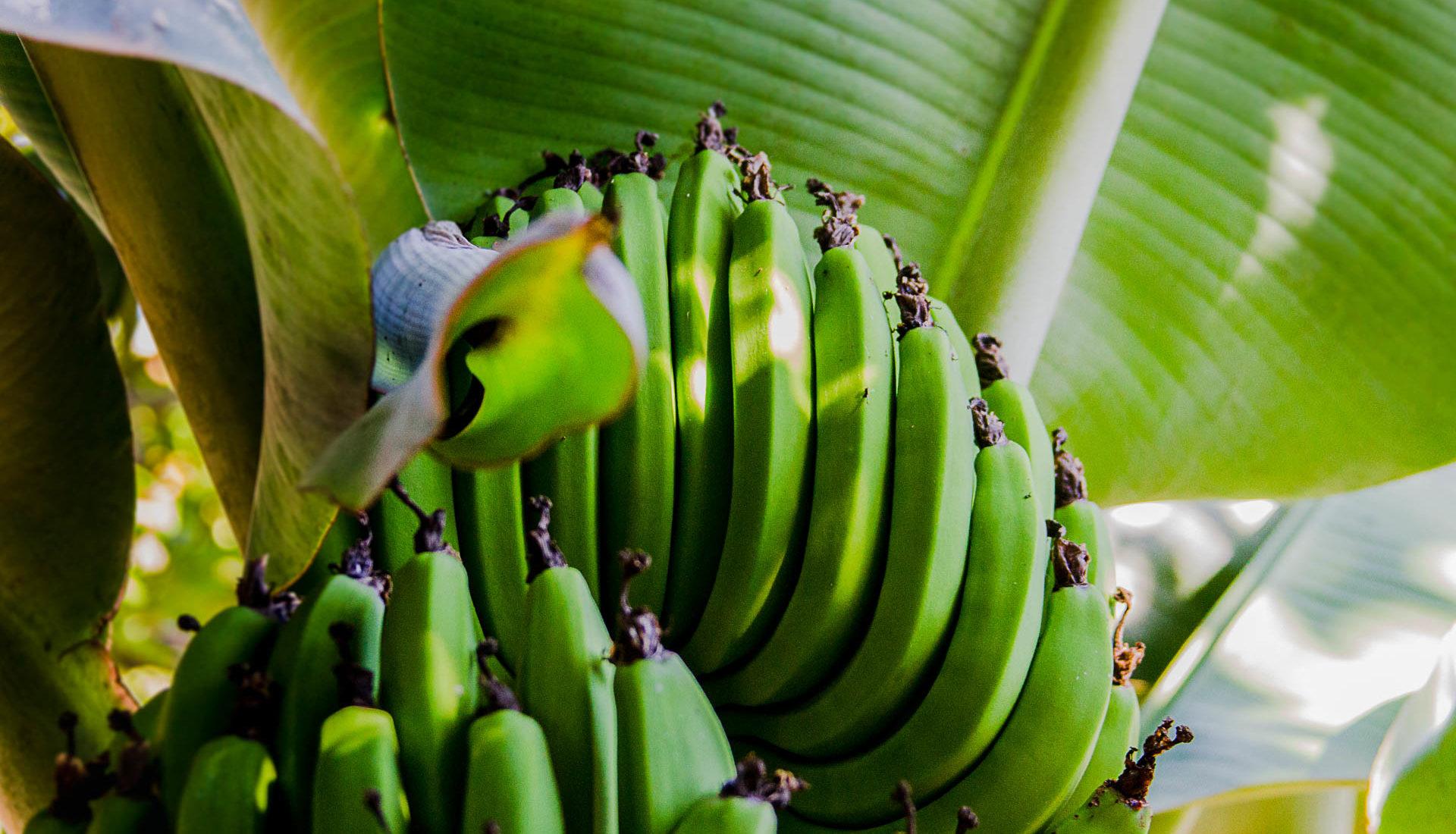Tipos de bananas