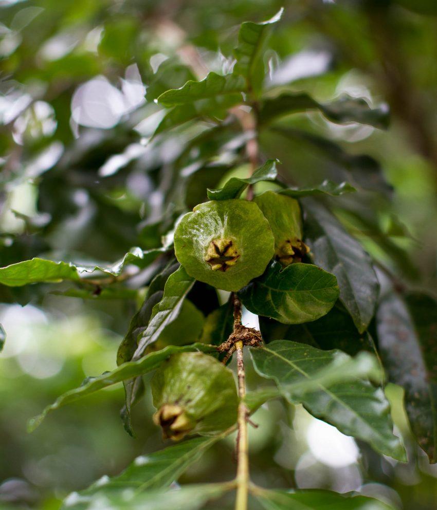 Frutas nativas na confeitaria